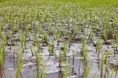 Young paddy field in agriculture for thailand. Small paddy field in agriculture for thailand royalty free stock image