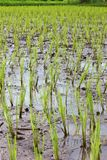 Young paddy field in agriculture for thailand. Small paddy field in agriculture for thailand stock image