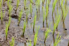 Young paddy field in agriculture for thailand. Small paddy field in agriculture for thailand royalty free stock photos