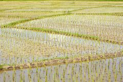 Young paddy rice Stock Image