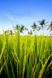 Young paddy on stalks in lush fields of Bali Royalty Free Stock Photos