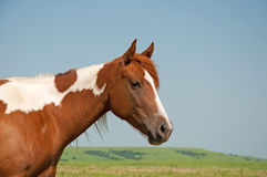 Young paint horse. With prairie background Stock Photo
