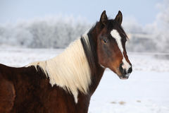 Young paint horse mare in winter. Portrait of nice young paint horse mare in winter Stock Photo