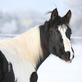 Young paint horse mare in winter Royalty Free Stock Photo