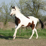 Young paint horse running in front of some flowered trees Stock Images
