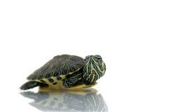 Young painted turtle. A young painted turtle before white background stock photos