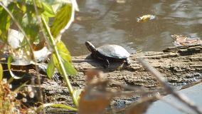Young Painted Turtle climbing to its Mother in Pandapas Pond Park Va. Pandapas Pond is an 8-acre man-made pond on the edge of the Eastern Continental Divide.  A stock video footage