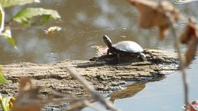 Young Painted Turtle sun basking in Pandapas Pond Park Newport Va. stock footage