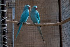 A young pair of Alexander parakeets royalty free stock photography