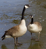 The young pair of geese Stock Photography