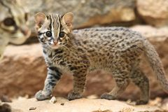 Young palawan leopard cat. On the rock Stock Photo