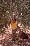 A young Palestinian boy in an olive grove. Royalty Free Stock Photo