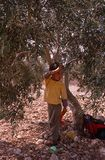 A young Palestinian boy in an olive grove. Stock Photos