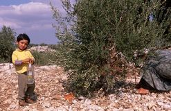 A young Palestinian boy in an olive grove. Royalty Free Stock Image