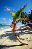 Young palm on caribbean beach Royalty Free Stock Images