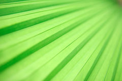 Young palm leave with backlighting. Stock Photo