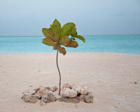 Young palm takes root on caribbean beach. Palm grows on jolly beach antigua in the caribbean protected by a ring of coral washed up on incoming tide stock photo