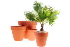 Young Palm Tree Royalty Free Stock Image