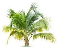 Young palm tree Royalty Free Stock Photography