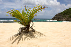 Young palm tree growing on the beach in Guadeloupe Stock Images