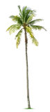 Young palm tree. Isolated on white background royalty free stock photography
