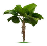 Young palm tree. Palm tree isolated on white background Royalty Free Stock Photo