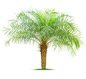 Young palm tree Royalty Free Stock Photos