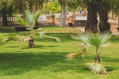 Young palm tree in a public park of Valencia stock photography
