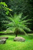 Young palm tree. With rock in park royalty free stock images