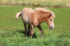 Young Palomino Filly. Finnhorse filly of palomino color on green meadow Royalty Free Stock Photography