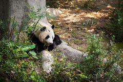 Young panda lying down by a tree and eating bamboo. Chengdu, Sichuan Province, China Stock Photo
