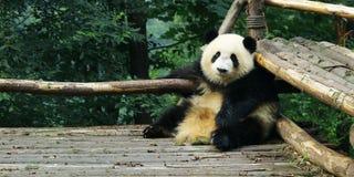 Young panda stock photo