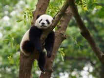 Young Panda Sleeping In A Tree stock photos