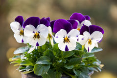 Young pansies.a close up shot Royalty Free Stock Image