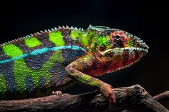A young panther chameleon Royalty Free Stock Photography
