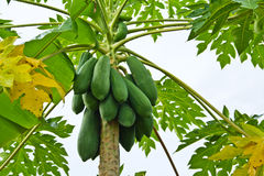 Young papaya. Royalty Free Stock Image