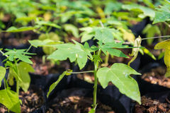 Young papaya plant Royalty Free Stock Images