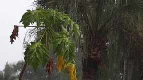 Young papaya tree in tropical rainstorm. Scene of a young papaya tree with palm tree during tropical rainstorm in naples, florida, fruit can be seen, with audio stock video