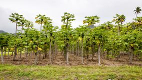 Papaya Plantation, Rarotonga, Cook Islands, Pacific Ocean Stock Photos