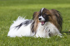 Young papillion dog on the grass. A young male papillion dog enjoying himself on the green grass of a residental area Royalty Free Stock Photography