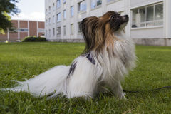 Young papillion dog on the grass Stock Images