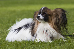 Young papillion dog on the grass. A young male papillion dog enjoying himself on the green grass of a residental area Stock Photography