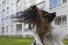 Young papillion dog on the grass. A young male papillion dog enjoying himself on the green grass of a residental area, wind blowing in his ears Royalty Free Stock Photo