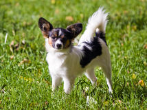 Young papillon. Portrait a young dog of breed papillon stock photo