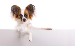 Young Papillon. Young dog of breed papillon isolated on a white background royalty free stock image