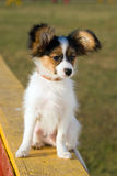 Young papillon Royalty Free Stock Images