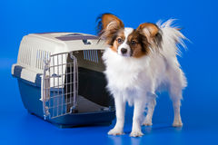 Young papillon Stock Photography