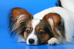 Young papillon. The young papillon on a blue background stock images