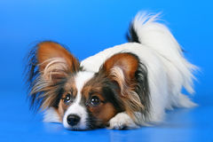 Free Young Papillon Royalty Free Stock Image - 8638466