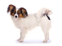 Young papillon. Isolated on a white background stock photography
